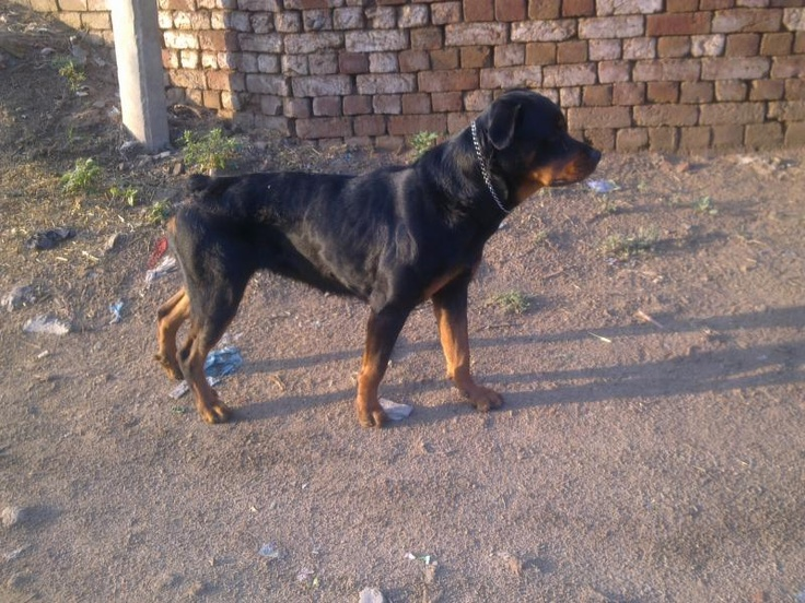 colorful pictures of rotties | Rottweiler For Sale | jojo | Bathinda| INDIA | sukhjinder | Dogs ...