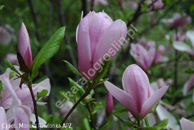 magnolia 'Judy' - Magnolia 'Judy'   Katalog roślin - e-katalog roślin