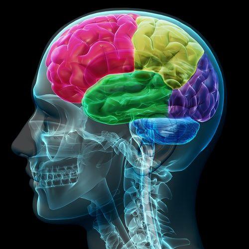 Les différentes zones cérébrales du cortex