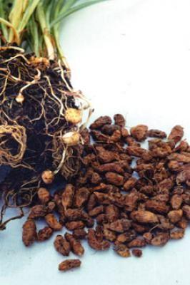 Bio-Saatgut Erdmandel Cyperus esculentus