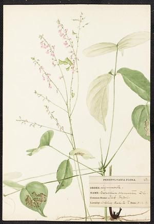 From the collection at Andersen Horticultural Library. Agnes Williams (1860-1946), a watercolorist from Bucks Co., PA, created a wildflower portfolio during the 1880s and 1890s. Emma painted this Desmodium acuminatum (Tick Trefoil) in Solebury, PA. It is dated August 2, 1891.