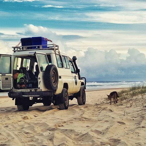 #fraserisland #thisisqueensland #palaceadventures #queensland #australia #seeaustralia #paradise #dingo #australianwildlife #beach #4x4 #visitqueensland #mytravelgram