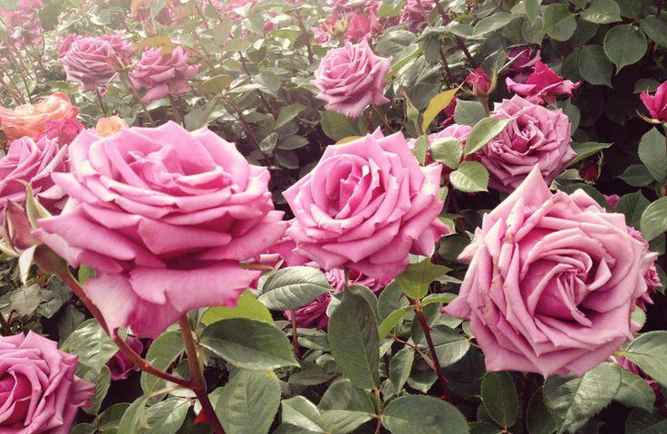 El signo equilibrado por excelencia prefiere la rosa rosada para potenciar ese carácter receptivo que le caracteriza. Esta flor vela por la custodia de los secretos y ampara las confidencias. La esencia de este tipo de rosa, en forma de unas gotitas en la almohada, ahuyenta las pesadillas de los Libra. Los beneficios se completan si un pequeño detalle rosa acompaña al atuendo diario, ya que ello procura paz y elegancia en general.  - WomansDaySpain.es