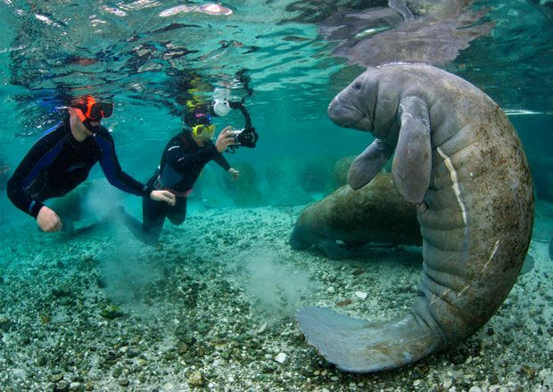 Snorkellers approach an adult manatee at Three Sisters Spring, Crystal River, Florida. You might imagine that coming face to face with one of these enormous underwater mammals would cause some concern. However, the likelihood is that the rotund creature just wants you to scratch its belly while it floats around happily, as world-renowned underwater photographer Alex Mustard discovered.