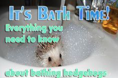 Hedgehogs dirty and needs a bath? Here's everything you need to know about bathing hedgehogs. What supplies to use? How frequent to give my hedgehogs a bath?