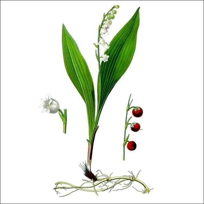 le muguet de mai une plante ravissante hautement toxique. Black Bedroom Furniture Sets. Home Design Ideas