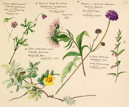 Lilian Snelling -- Wildflower composite -- Composites -- View By Flower -- RHS Prints