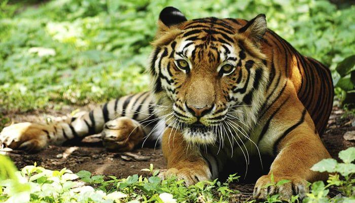 Seus parentes domesticados podem entrar em conflito, mas os grandes felinos e cães selvagens da Índia se relacionam surpreendentemente bem. Leopardos, tigres e dholes (cães selvagens asiáticos) competem pelos mesmos recursos na região de Gates Ocidentais, mas um novo estudo utilizando câmeras escondidas …