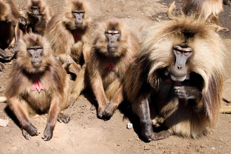 O babuíno-gelada (Theropithecus gelada) é uma espécie de primata que vive apenas nas terras altas da Etiópia. O animal (imagem acima) é grande e robusto, e os machos têm uma mancha vermelha no peito. Quanto mais viva a cor é, mais viril ele é considerado. http://www.megacurioso.com.br/animais/48016-12-fatos-interessantes-sobre-os-primatas.htm?utm_source=plus.google.com