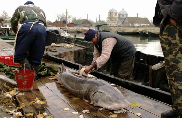 Un pêcheur roumain vide un esturgeon Beluga pêché en mer Noire en novembre 2004.