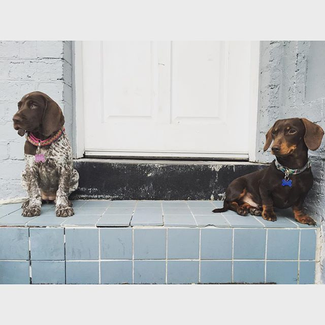 King and Queen of Fitzy.  Meet my new big little sister Mala Phark, the German Short Haired Pointer. #bffs