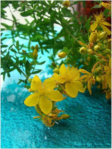 Sarı kantaron ve faydaları - rumma - rumma