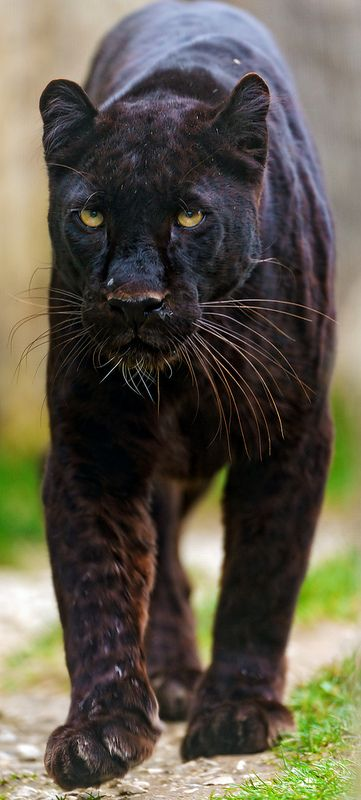 63 best images about Panther Power on Pinterest   Big cats, Black ...