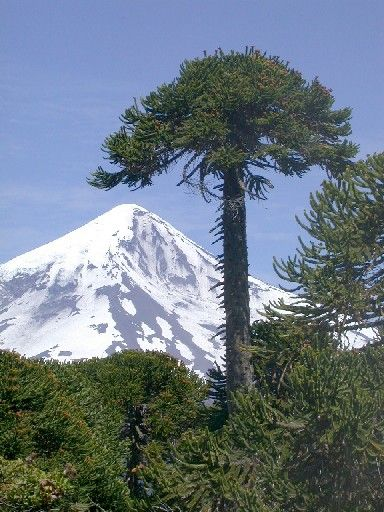 A coniferous evergreen tree (Araucaria araucana), araucaria in Spanish.