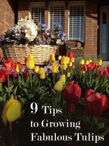9 Tips to Growing Fabulous Tulips