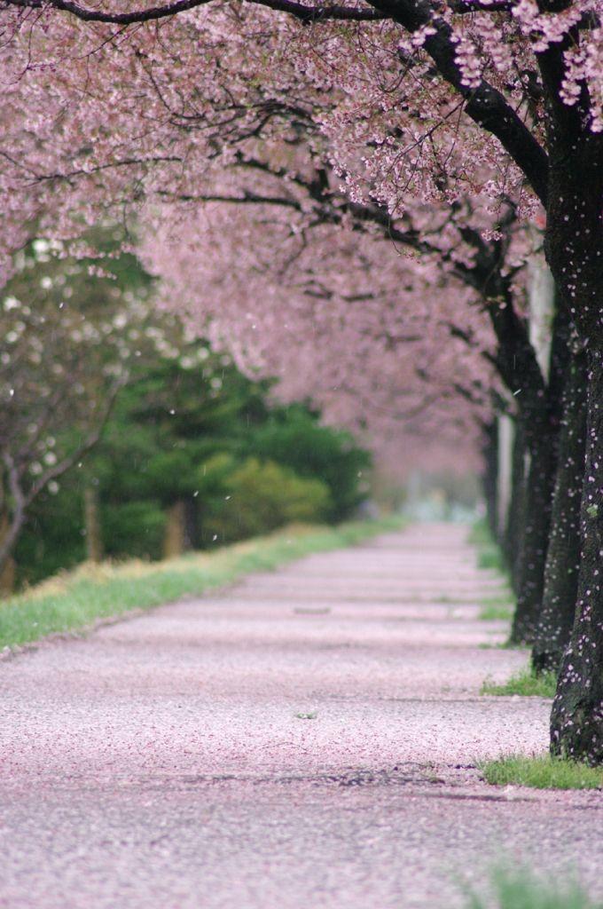 花散らしの雨 Cherry Blossom, Miyagi, Japan #桜 #CherryBlossom