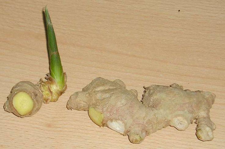 Ingwer ist gesund und vielfältig einsetzbar. Statt aber immer wieder neue Knollen teuer zu kaufen, kannst du sie auch leicht selber anbauen und versorgen.