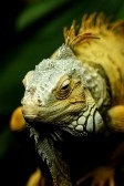 Green Iguana Resting In A Display Royalty Free Stock Photo, Pictures, Images And Stock Photography. Image 14956262.