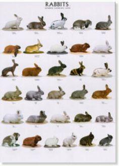 Rabbit breeding on Pinterest | Rabbit Breeds, Rabbit and Raising ...