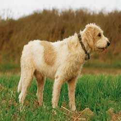 Briquet Griffon Vendeen : Know about Temperament, Health,Training,Names & Grooming