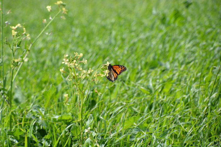 Fragile and beautiful, this butterfly makes a splash of bright orange and black against soft green pasture on a winter's morning. #butterfly #nannup #nature #nannuprealestate #naturallynannup