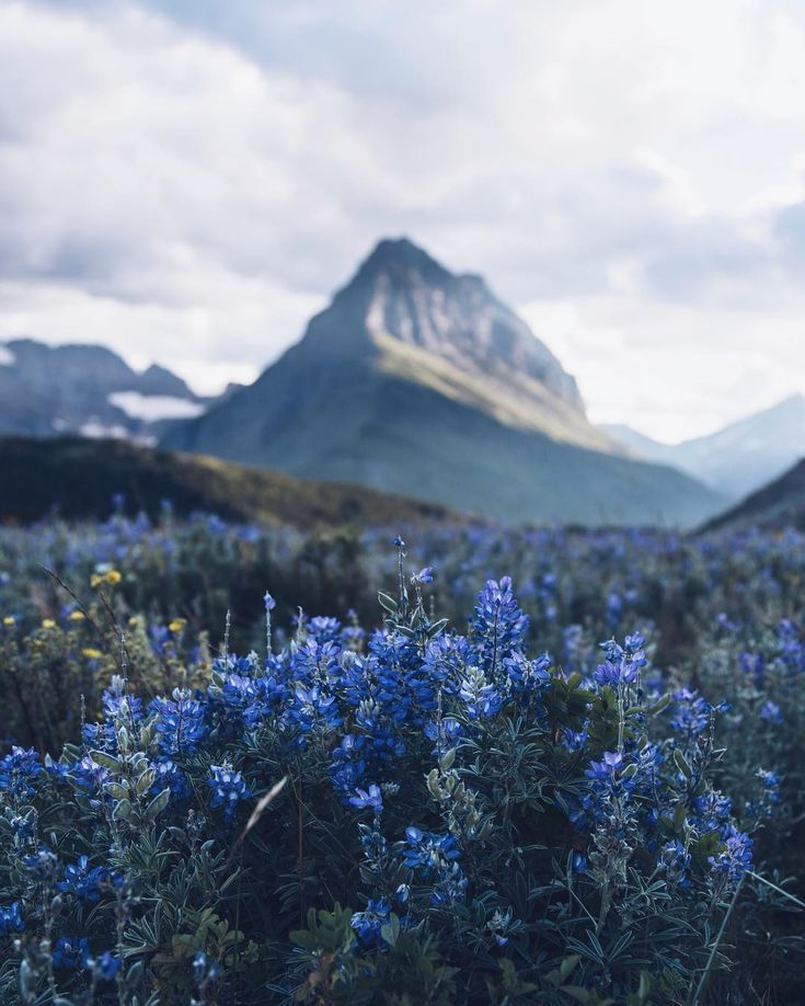 Amazing bluebells are the focus of this photo, with a mighty mountain in the background