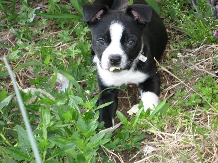 boston terrier jack russell best 25 jack russell mix ideas on pinterest dog breeds 3474