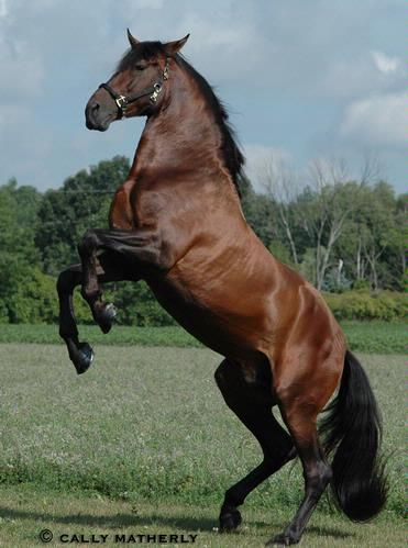 Andalusian Bay stallion named 'Romerito II' - from Yeguada Romerito's Andalusian Farm