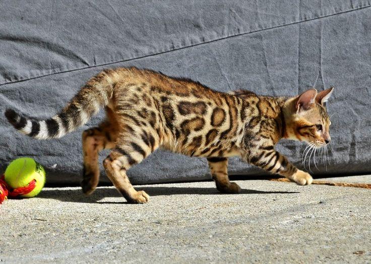 Free bengal kittens near me