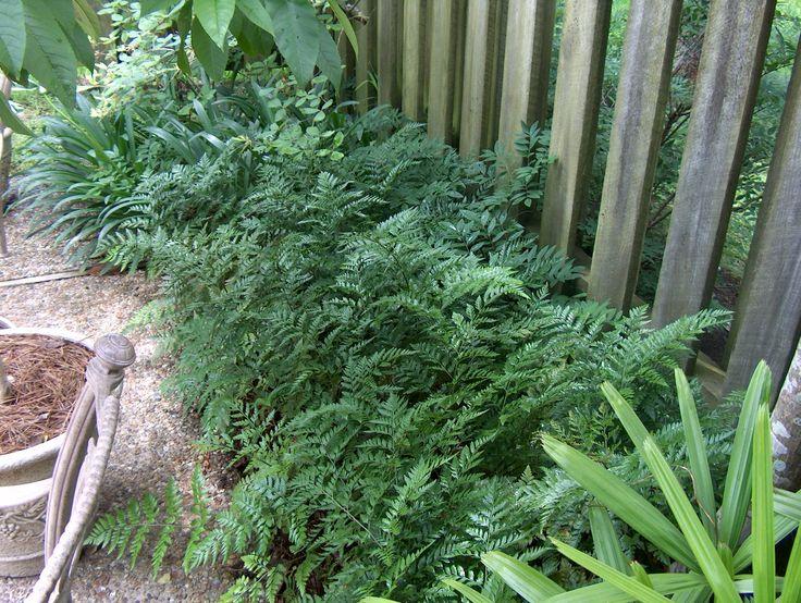 Leatherleaf fern - shade, morning sun Rumohra adiantiformis