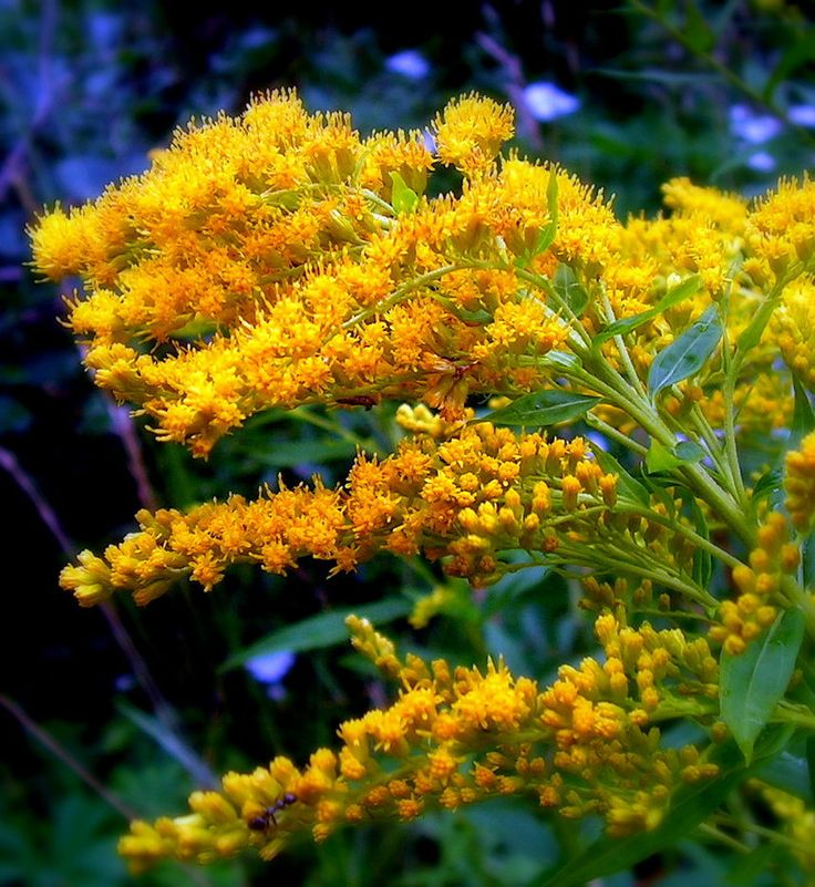 """""""The goldenrod is yellow The corn is turning brown The trees in apple orchards With fruit are bending down.""""  ~ Helen Hunt Jackson, """"A Children's Song"""" (image by jocelynR)"""