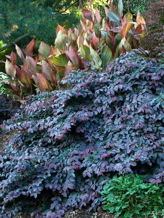 'Sizzling Pink' Fringe Flower has spectacular evergreen foliage w/ clusters of pink blooms from winter into spring.