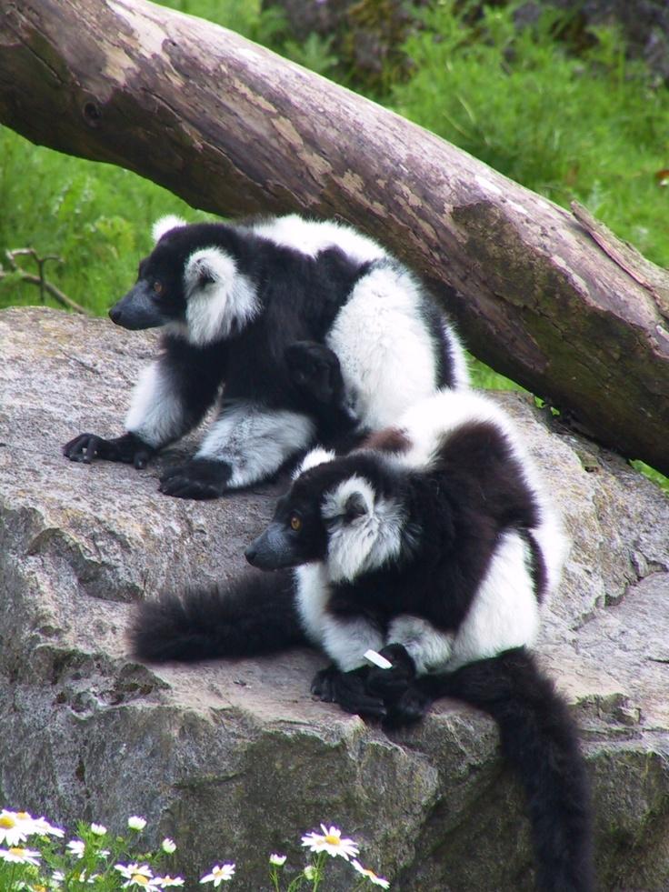 Two Black and White Ruffed Lemurs at Fota Wildlife Park