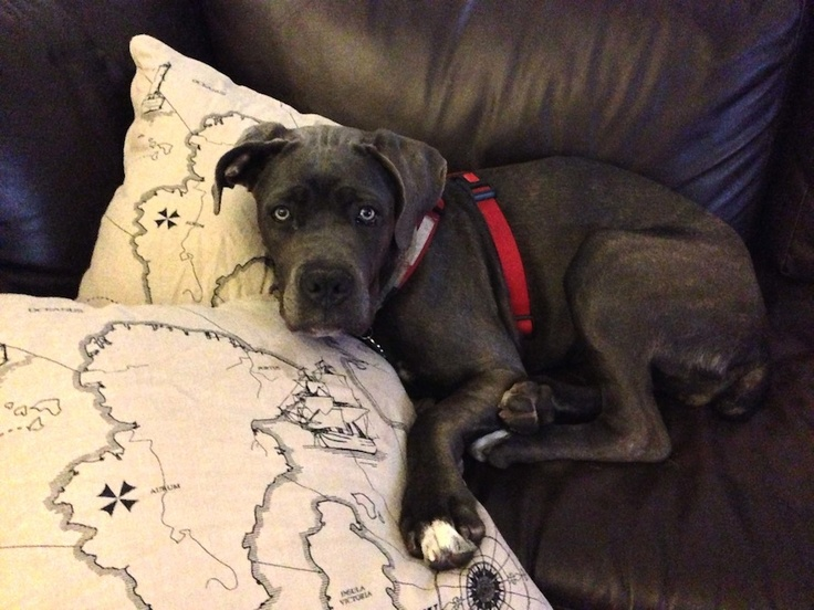 The 25 best brindle cane corso ideas on pinterest cane corso bu bu but i thought i was allowed on the couch if you weren brindle cane corsoblue malvernweather Images