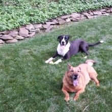 Coltrane Relocated to London from NC, pet shipping, pet relocation, pet travel