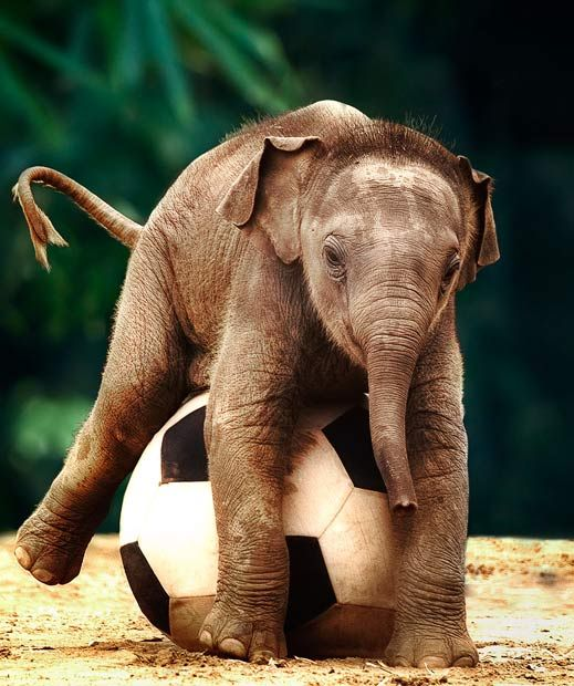 Asian elephant Luk Chai chases a large football around his enclosure at Taronga Zoo, in New South Wales