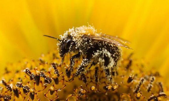 Пыльца пчелиная: полезные свойства. как принимать