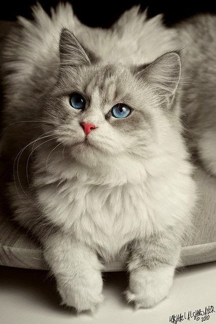 Pet's We Love: Top 5 Long Haired Cat Breeds                                                                                                                                                                                 More