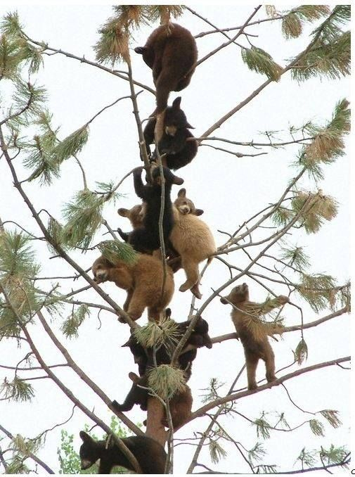 Mas osos escalando arboles