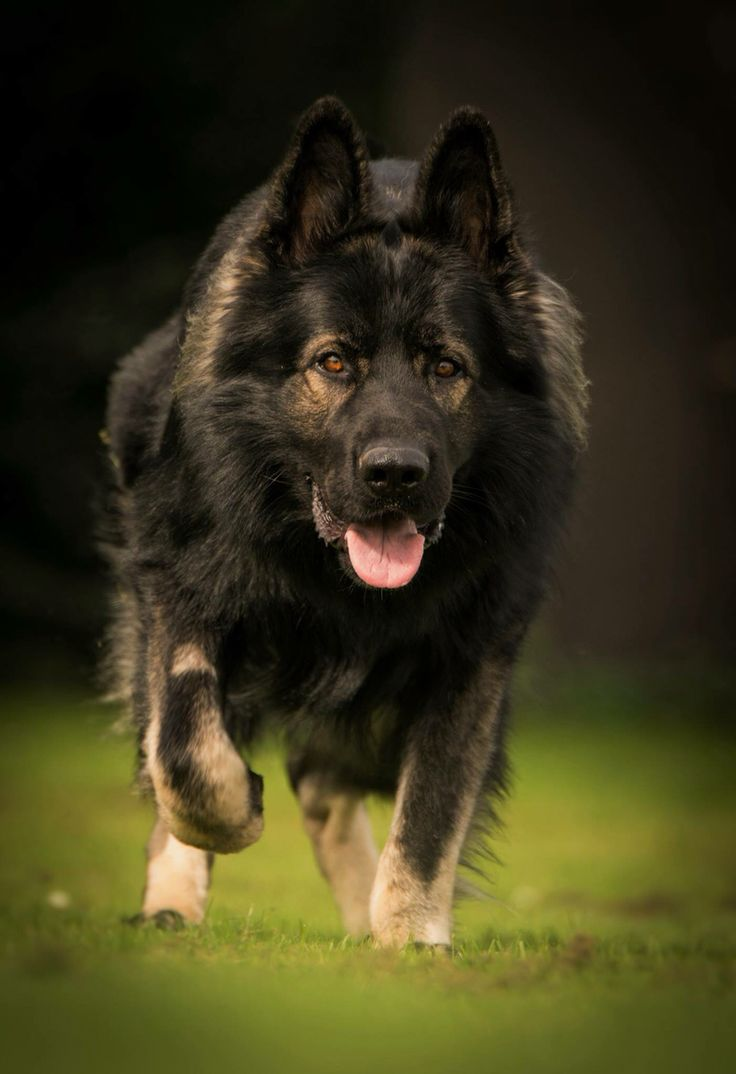 Black sable Long coat GSD I'm coming to get ya!
