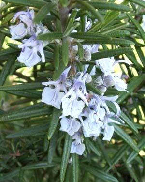 Rosmarino, Rosmarinus officinalis, tecnica colturale del rosmarino, piante aromatiche