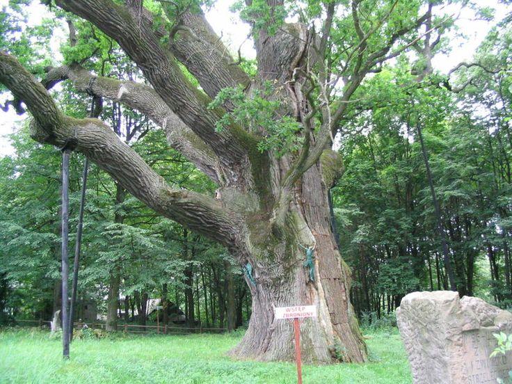 Dab Bartek - Bartek (tree) - Wikipedia, the free encyclopedia