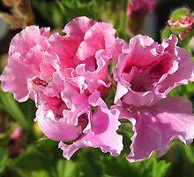Pretty Pink Pelagonia by HoneyMyrtle