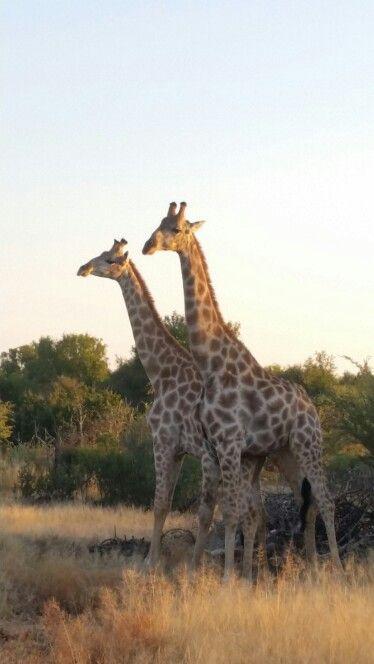 Fighting Giraffe bulls on Tambotie Loop, Xombana