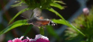 ps-pictureshop: Taubenschwänzchen, Hummingbird Hawk-moth, Kolibri ...