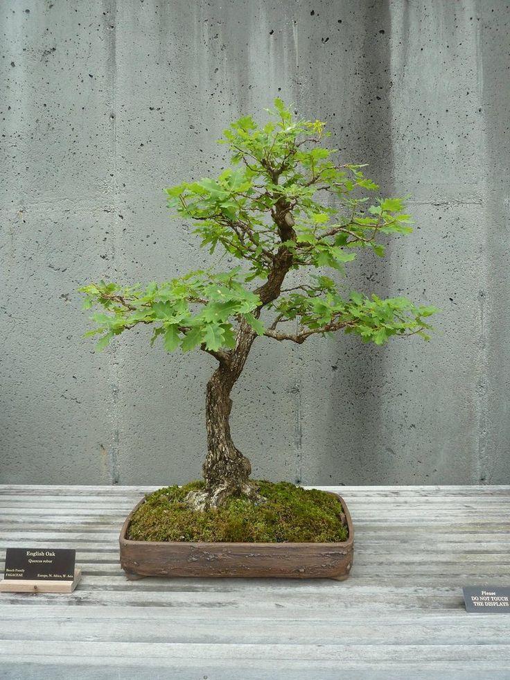 English oak bonsai