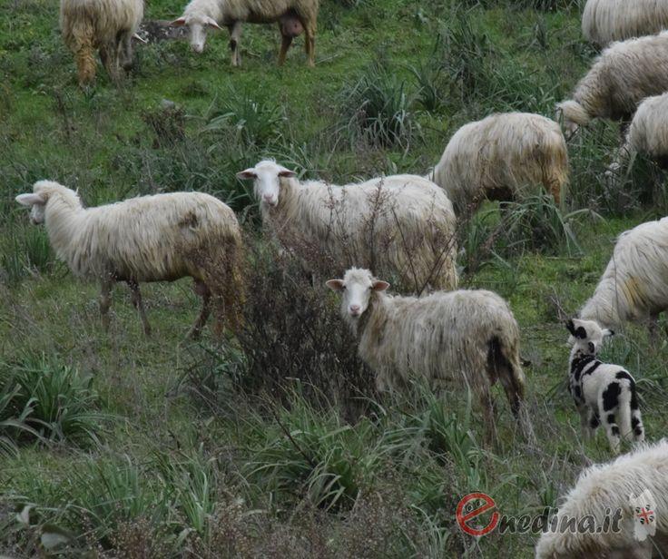 Cos'è 'sa paradura': le pecore regalate a Cascia dai pastori sardi Sa paradura è un'antica usanza sarda, un gesto di generosità e condivisione da mettere in atto nei momenti difficili. Sa paradura era la solidarietà nei confronti di altri pastori in difficoltà. #paradura #pecore #cascia #sardegna