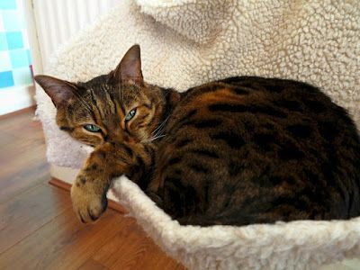 What is Cost of breeding a Bengal Cat? ~ pet rescue info