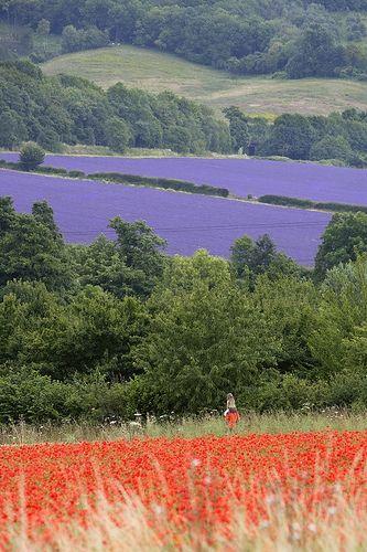 Lavender at Eyensford in Kent, UK