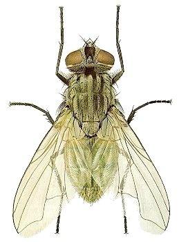 House fly entomology.